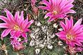 Mammillaria melanocentra pm 1.JPG