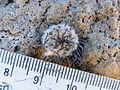 Mammillaria perezdelarosae (5725992987).jpg