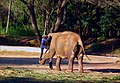 Man climbing on Elephant- Mysore Zoo.jpg