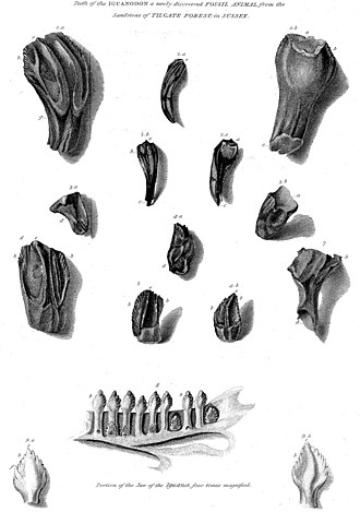 Iguanodon - The original I. anglicus teeth from Mantell's 1825 paper