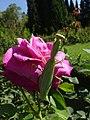 Mantis religiosa in Nilitsky Botanical Garden 1.jpg