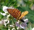 Marbled Fritillary. Brenthis daphne. - Flickr - gailhampshire (3).jpg