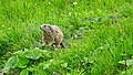Marmots galore near Lech 2017 9 (40389041361).jpg