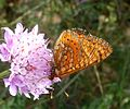 Marsh Fritillary. Eurodryas aurinia beckeri. us - Flickr - gailhampshire.jpg