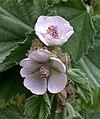 Marsh Mallow Althaea officinalis (6171430693).jpg