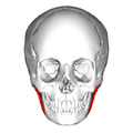 Masseter muscle - anterior view - superficial part.png