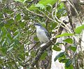 Mauritius Cuckoo Shrike. Coracina typica. - Flickr - gailhampshire.jpg