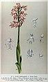 Max Schulze - Die Orchidaceen Deutschlands, Deutsch-Oesterreichs und der Schweiz (1894) 37b - Orchis × bergonii.jpg