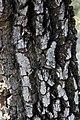 Maytenus heterophylla00.jpg
