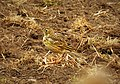 Meadow Pipit Anthus pratensis (45732080365).jpg
