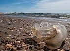 Medusa en playa de la Isla de San Carlos, Estado Zulia.jpg