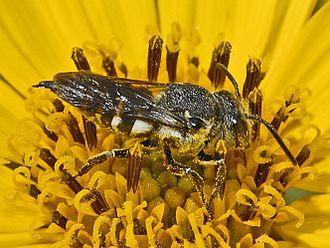Coelioxys - Female of Coelioxys species