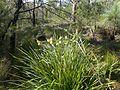 Melaleuca pityoides habit (Torrington).jpg