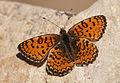 Melitaea collina - Hataylı İparhan 07.jpg