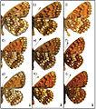 Melitaea comparison wing morphology.jpg