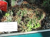 Melocactus neryi - Botanical Garden in Kaisaniemi, Helsinki - DSC03729.JPG