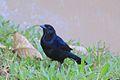 Melodious Blackbird (8258746422).jpg