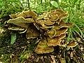 Meripilus giganteus (36168102622).jpg
