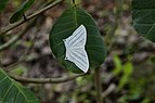 Micronia aculeata 9065.jpg