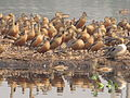 Migratory Birds - Santragachi Lake - Howrah 2012-01-26 1522.JPG