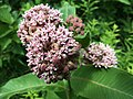 Milkweed Flowering.jpg
