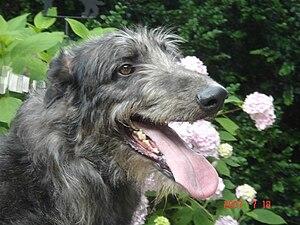 Scottish Deerhound - Scottish Deerhound