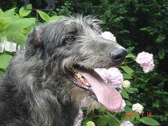 Scottish Deerhound - Scottish Deerhound