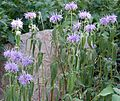 Monarda fistulosa - Flickr - gailhampshire.jpg