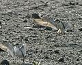 Mongolian Plover (Charadrius mongolus) 1.jpg