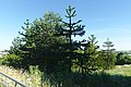 Monkey Puzzle Trees on the Penryn Campus.jpg