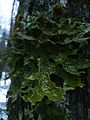 Moose Lichen in New Hampshire5.jpg