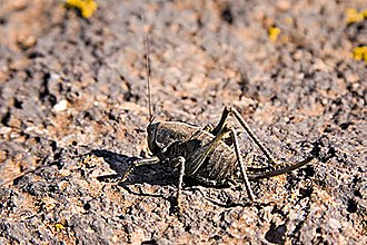 Mormon cricket - Utah, October 2005