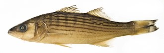 Striped bass - Image: Morone saxatilis SI