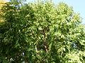 Morris Arboretum Rutgers Select Metasequoia glyptostroboides.JPG