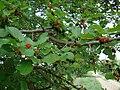 Morus nigra Krasnodar 01.jpg