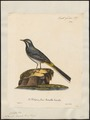 Motacilla boarula - 1825-1834 - Print - Iconographia Zoologica - Special Collections University of Amsterdam - UBA01 IZ16300123.tif