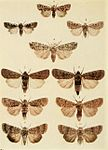 Moths of the British Isles Plate107.jpg