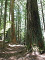 Mount June old-growth, Oregon.JPG