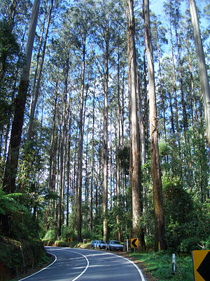 Eucalyptus regnans - Giant mountain ash trees, Black Spur Range, Victoria. Photo: Bob Beale
