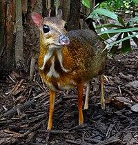 Mouse-deer Singapore Zoo 2012.JPG