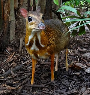 Chevrotain - Tragulus kanchil