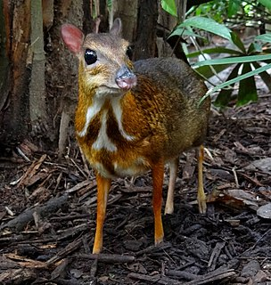 Chevrotain A family of mammals belonging to even-toed ungulates