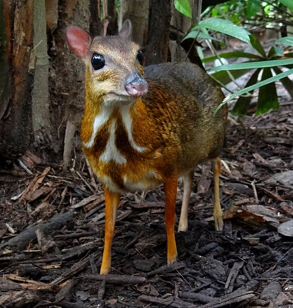 570px-Mouse-deer_Singapore_Zoo_2012.JPG
