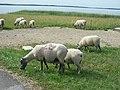 Moutons (05).jpg