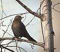 Mrs Blackbird (32245295280).jpg