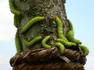 Assam silk - Muga Silkworms on a Som tree.
