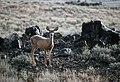 Mule deer (62f2a812-e783-4c55-95a3-2c196aa2b577).jpg