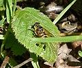 Myathropa florea (34678512715).jpg