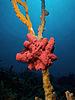 Mycale laxissima (Strawberry Vase Sponge).jpg