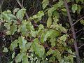 Myrsine australis 11.JPG